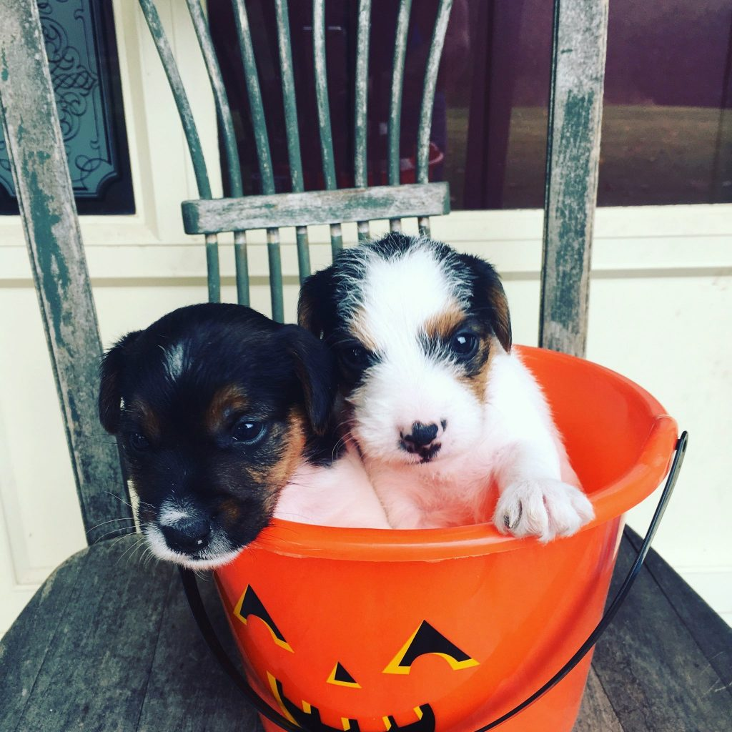 two dogs in a Halloween bucket