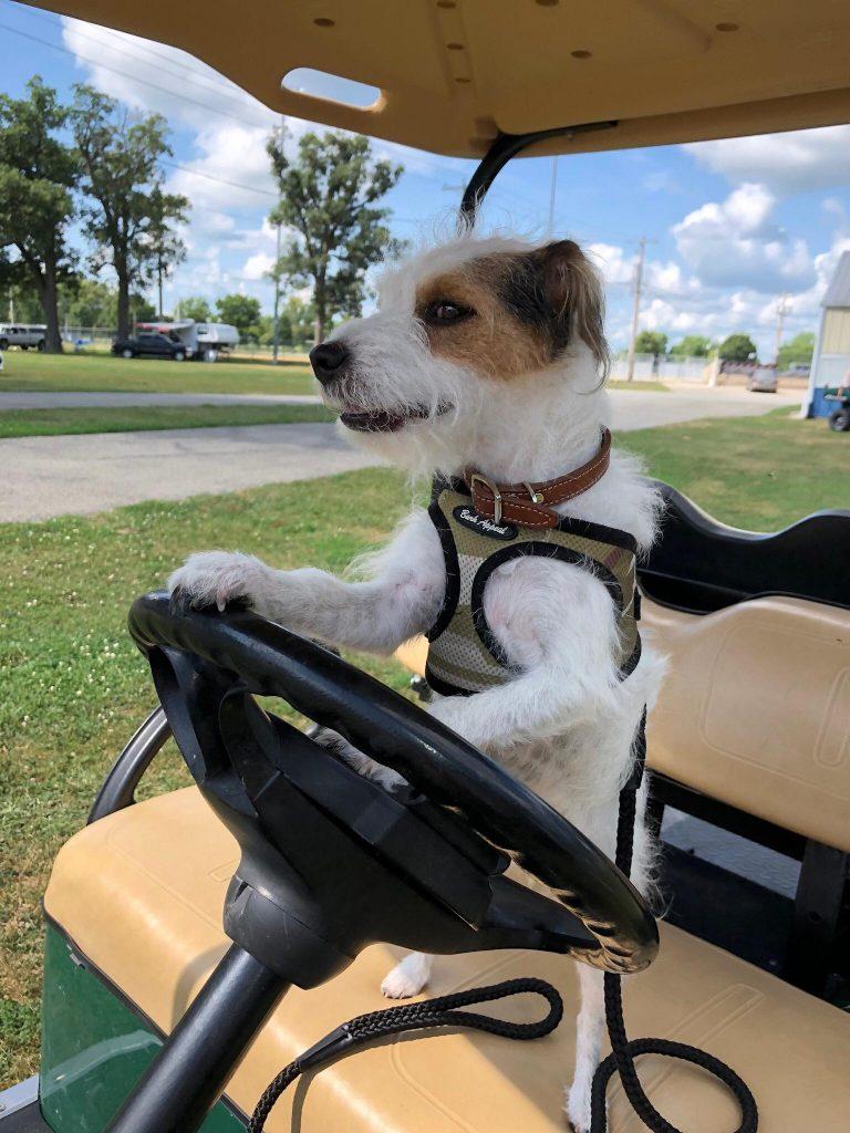 Jack Russell Terrier driving a golf cart